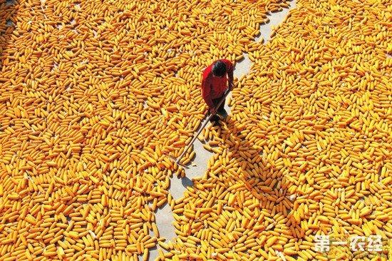 国家临储玉米提前一个月拍卖 玉米价格预计将走低