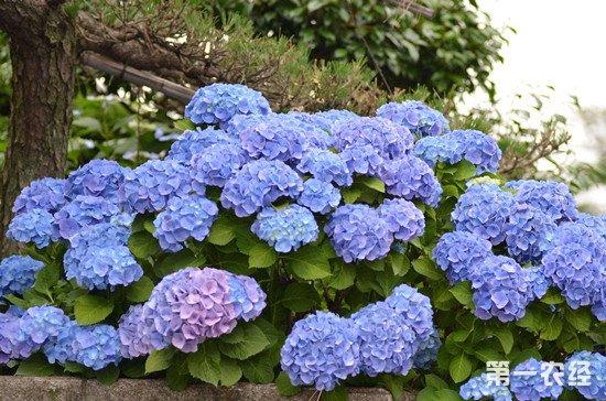 八仙花养殖方法介绍