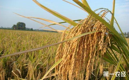 巴基斯坦引种培育的杂交水稻将首次出口