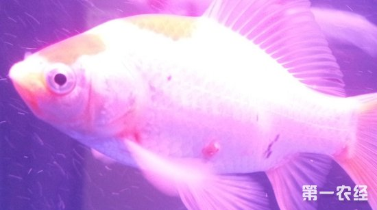 病毒引发的鱼儿充血病如何治疗?鱼病毒性充血病治疗方法