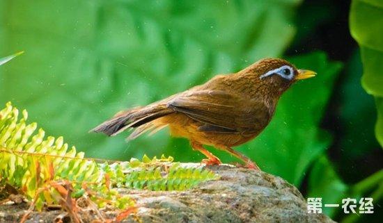 画眉鸟怎么分公母?公画眉和母画眉有什么区别?