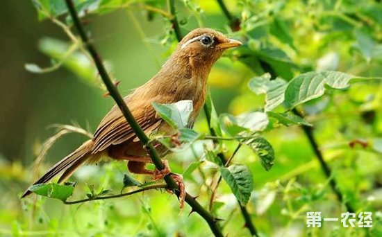 画眉鸟主要分布在哪里?画眉鸟有哪几种类型?