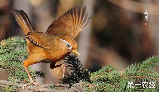 家养画眉鸟吃什么?饲养画眉鸟用什么饲料好?