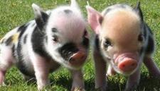 出现假死猪怎么办?假死猪的急救方法