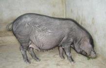 黄淮海黑猪之霍山黑猪