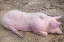 <b>猪反复发烧是怎么回事?猪反复发烧的原因是什么?</b>