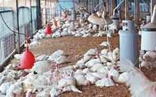 中国台湾台南爆发H5N2禽流感 共上万只鸡被扑杀