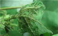 棉花伏蚜用什么药?棉花伏蚜的防治方法