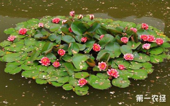 睡莲的种植方法和养殖注意事项