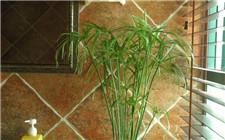 旱伞草的养殖方法和注意事项