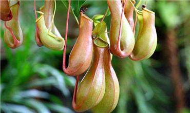 猪笼草的习性和养殖注意事项