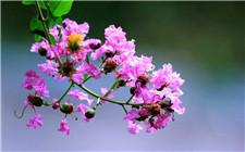 紫薇花怎么种植?紫薇花养护技巧