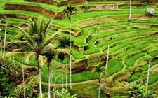 菲律宾水稻产量提升 大米进口量也增长