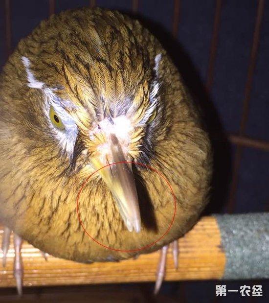 画眉鸟的嘴太长怎么办?画眉鸟嘴错位进食困难怎么办?