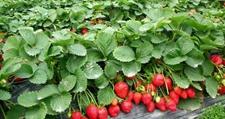 <b>打工仔返乡创业种草莓种出美好新人生</b>