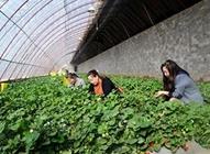 <b>杨军:草莓大棚办草莓采摘乐了客人富了自己</b>