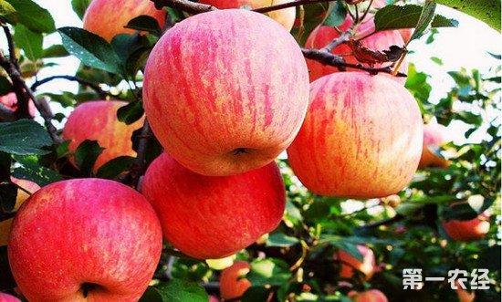 山东蒙阴县:试点有机肥培育苹果 绿色食品价更高