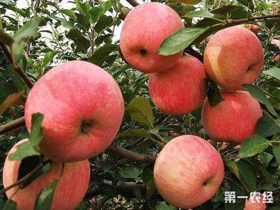 有机肥培育苹果