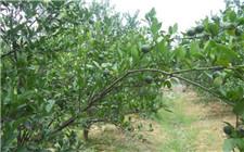 夏季柑橘叶面肥追施技术