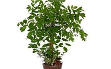 辛福树怎么养?幸福树生长特性和养殖注意事项