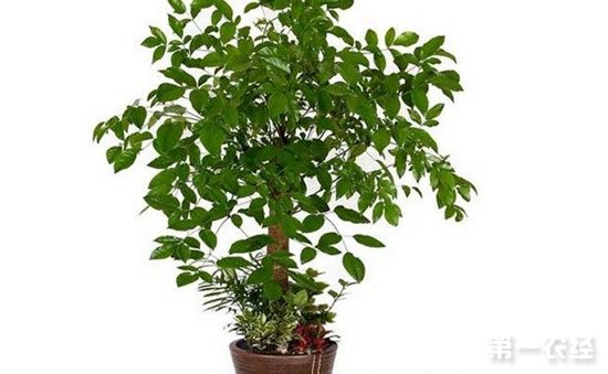 辛福树怎么养?