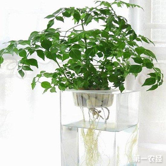 幸福树生长特性和养殖注意事项