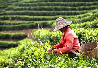 <b>普洱茶知识:怎么采摘普洱茶的鲜叶?</b>