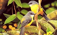黄鹂鸟多少钱一只?黄鹂鸟的市场价格