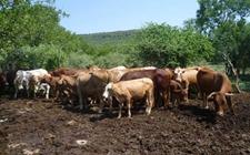 养牛场牛粪如何处理?养牛场牛粪处理技术