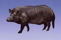 <b>小型猪——兰屿小耳猪</b>