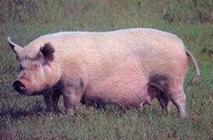 伊犁地方猪种——伊犁白猪