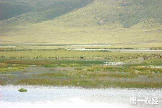 三江源生态保护显成效 藏羚羊从2万只涨回7万只