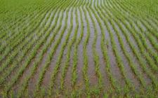 <b>菲律宾将与巴新合作 派遣农民到巴新种植大米</b>