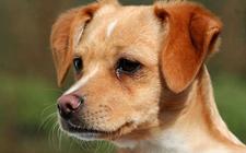 狗鼻子不黑了怎么办?狗鼻子褪色怎么恢复?