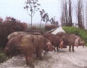 江苏金坛地方猪种米猪