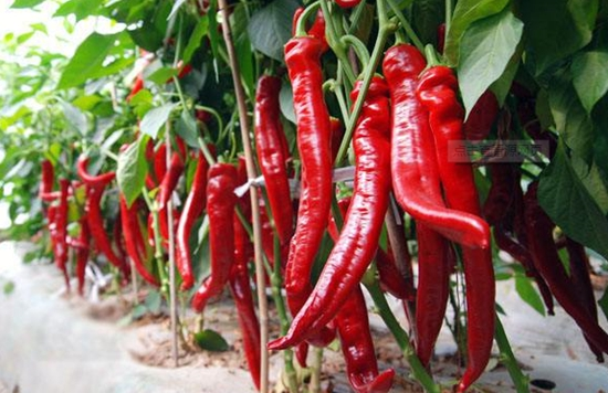 张秀英:农村妇女图强种辣椒求致富追梦。
