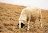 贫困户养羊一年赚五万脱贫致富在路上
