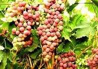 <b>胥满会:戈壁开荒种葡萄种的多赚的多</b>
