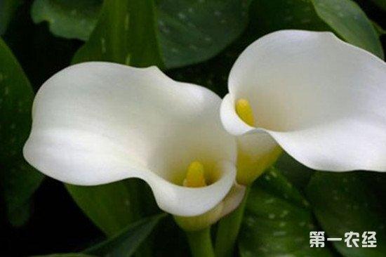 白梗马蹄莲