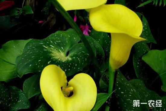 黄花马蹄莲