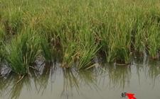 湖北潜江市——一座被虾(稻)改变的城市