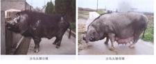 如今数量稀少的本土猪种沙乌头猪