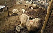 山东寿光大葱毒死羊案判决 两名种植户获刑
