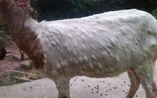 春秋季节是羊痘高发期,养羊专家告诉你怎么辨别羊痘