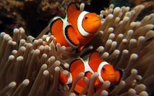 <b>海葵为什么不吃小丑鱼?小丑鱼与海葵一起养可提高欣赏性</b>