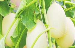 新疆托克逊大棚种甜瓜增收致富好帮手