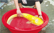 男子钓金黄大怪鱼 专家称百万分之一几率