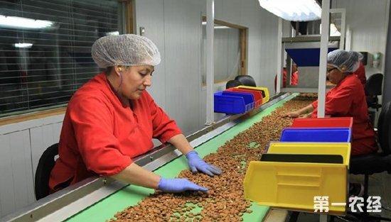 美国加州巴旦木种植业农民盼中美恢复正常贸易