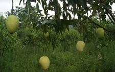 缅甸:芒果出口价格下降近30% 山羊出口价格上涨近50%