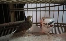 云雀的笼养方法与鸟笼的选择和配备